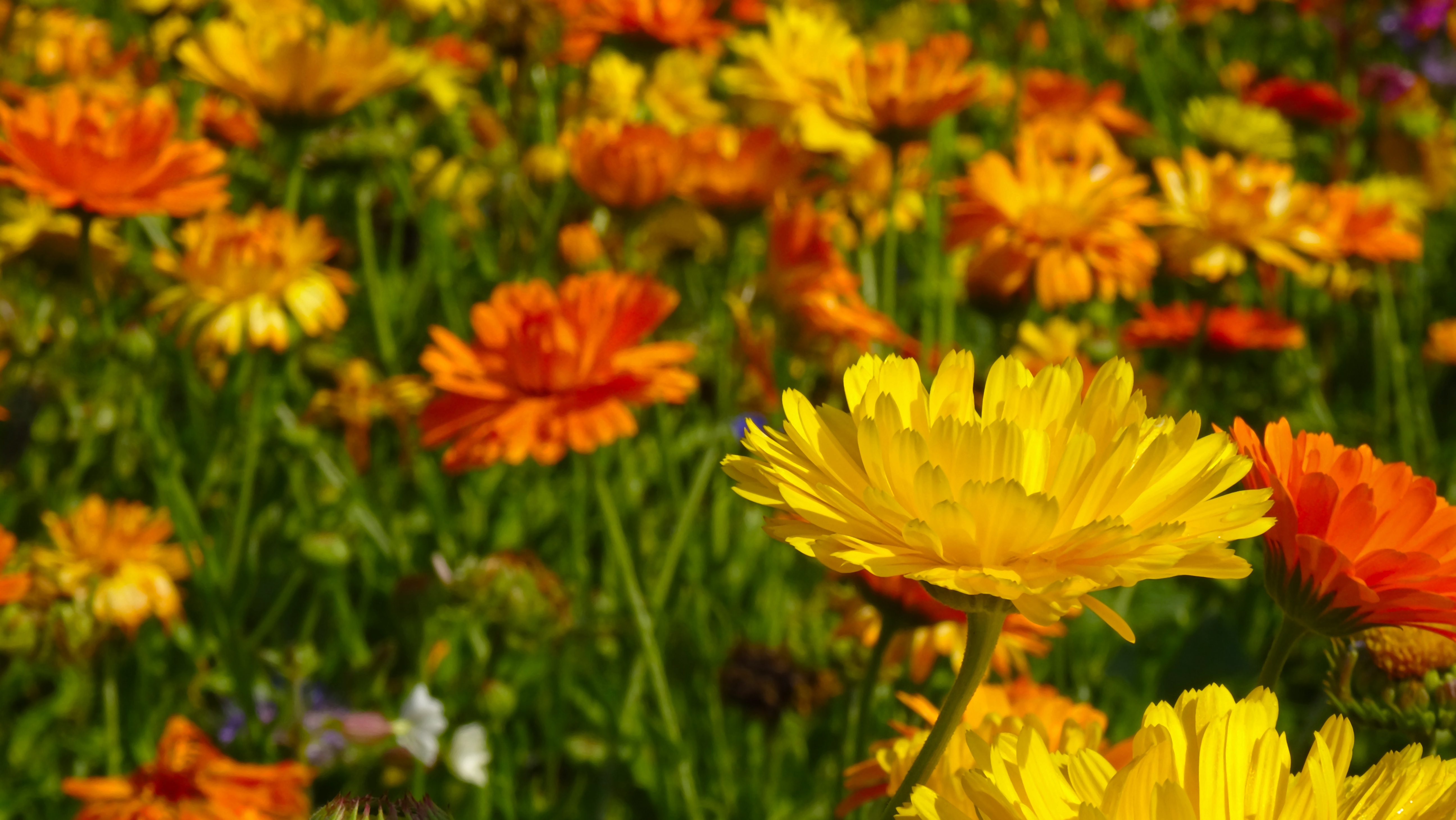 marigold-flowers-blutenmeer-flower-meadow-45173.jpeg